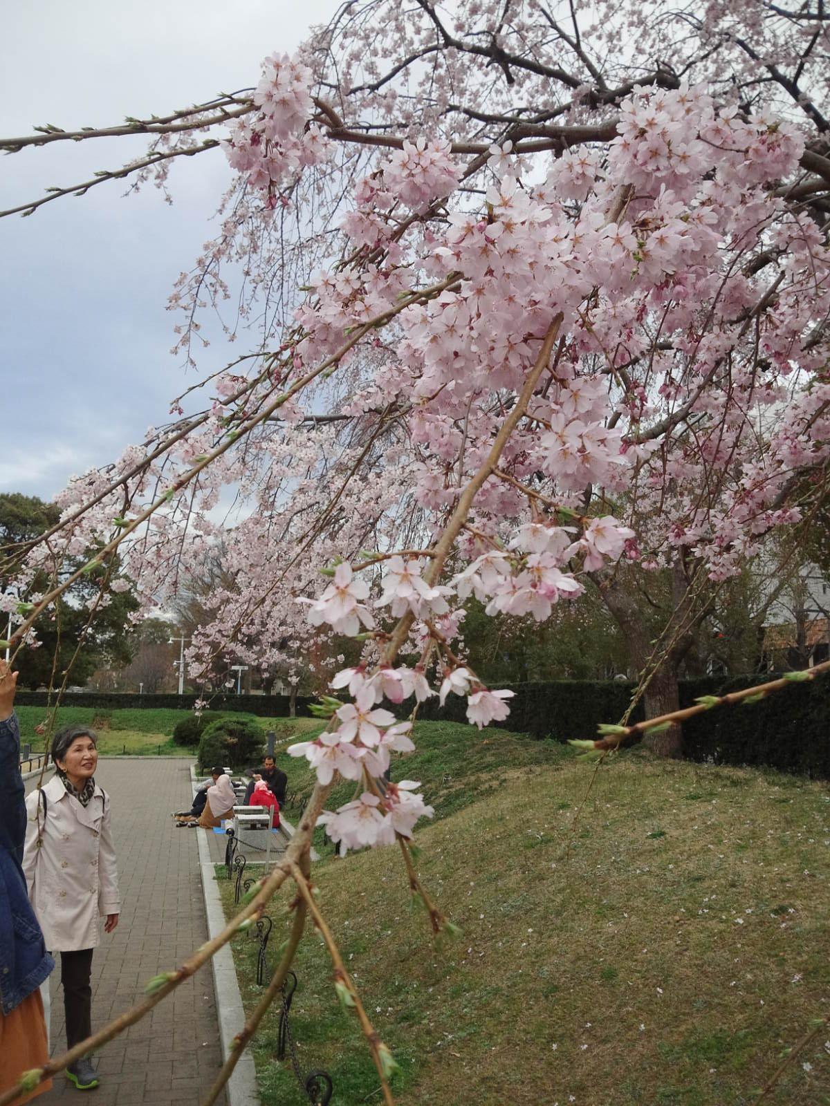 山下公園の早咲き桜